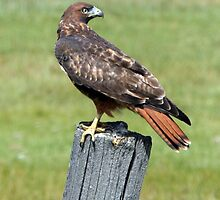 Red Tail Hawk by Gina J