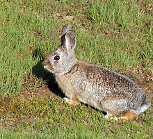 Cottontail Rabbit  by Gina J