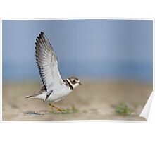 Semipalmated Plover Wingstretch. Poster