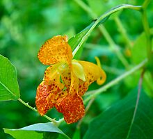 Impatiens capensis - Orange Spotted Jewelweed by MotherNature