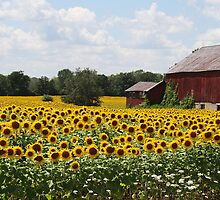 Sunflower Field by Jessica Dryden