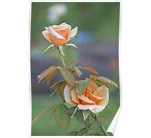 Soft peach beauties Poster