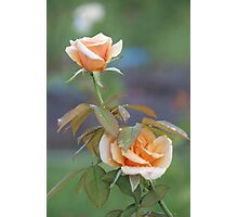 Soft peach beauties Photographic Print