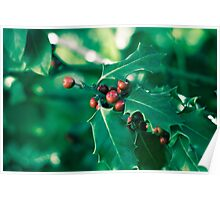 Holly bush with red berries II Poster