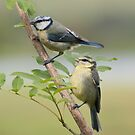 Blue tits ~ Siblings by M.S. Photography/Art