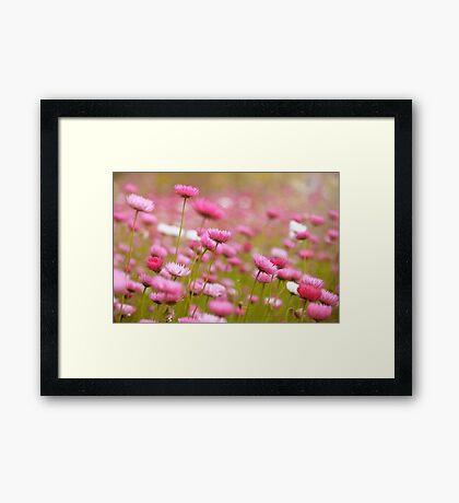Everlastings in Bloom Framed Print