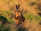 Swamp Wallaby. by Donovan Wilson