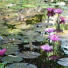 Pink Lilly Pond by machka