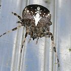 They tell me I am a false a false widow!   if so, one that bites!! by Greybeard