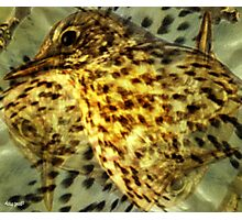 Designs Inspired By Nature: Song Thrush Photographic Print