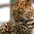 Amur Leopard Cub by Grildrig
