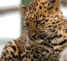 Amur Leopard Cub by Grildrig