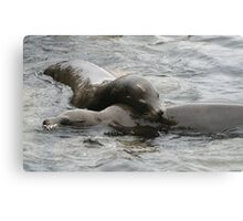SEAL PUPS Canvas Print