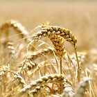 Golden Wheat by Karen Martin
