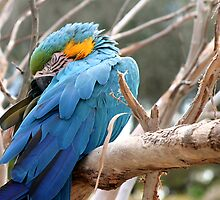 Blue And Gold Macaw by Henrik Lehnerer