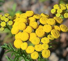 Tansy by Kathleen Daley