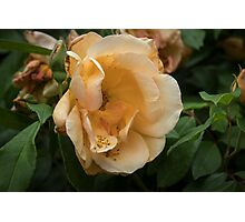Dull pale yellow Camelia Leith Park Victoria 20151023 0476 Photographic Print