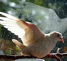 Have You Ever Seen The Rain - White Dove - NZ by AndreaEL