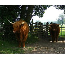 Highland cattle staying cool in the shade Photographic Print