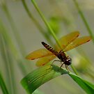 Dragonfly over pond by levipie