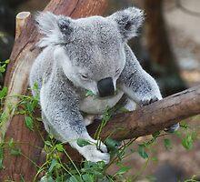 Koala Bear by Rosehaven