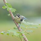Blue tit ~ fledgeling by M.S. Photography/Art