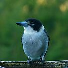Grey Butcherbird, Cracticus torquatus by Trish Meyer