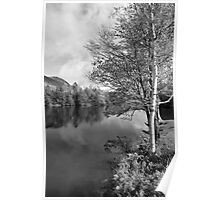 Lake Birch Trees Poster