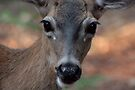 Mule Deer - Shasta National Forest by Harry Snowden