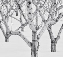 Peach Trees In Snow, Black and White Photo Sticker