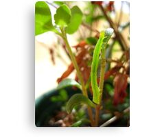 Hungry Little Caterpillar Canvas Print