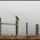 Hawk on fence by Lynn Starner