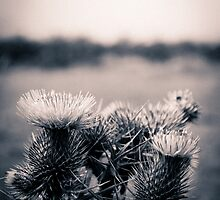 Thistle by darrencp