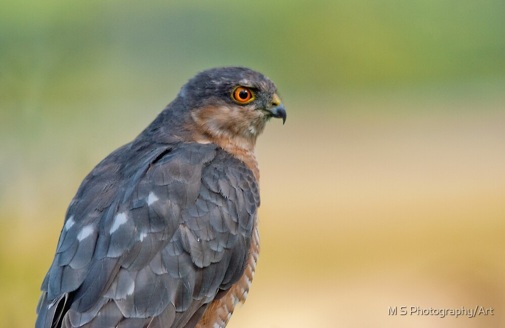 Sparrow Hawk by M.S. Photography/Art
