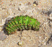 Emperor Moth Caterpillar ,   Saturnia pavonia by relayer51