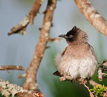 Cape Bulbul  Jnr by Warren. A. Williams