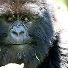 Amahoro: Mountain Gorillas of Rwanda by David McGilchrist