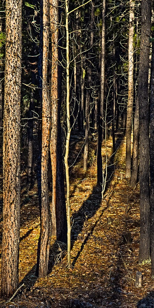Sunlight Through The Pines by Yukondick