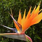 Flamboyant Bird ... of Paradise. by Trish Meyer