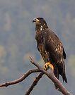 Golden Eagle by Yukondick