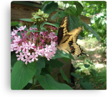 GIANT SWALLOWTAIL ON CLERODENDRON Canvas Print