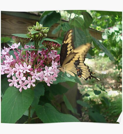 GIANT SWALLOWTAIL ON CLERODENDRON Poster