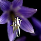 Hosta Flower ~ Reaching out by DesignsbyiRis