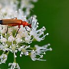 Soldier Beetle by Hannah Welbourn