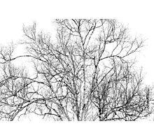 Spring Birch Photographic Print