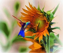 hummingbird on sunflower by ezdrifter