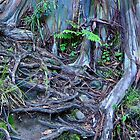 Rainbow Eucalyptus or Mindanao Gum Tree tangled roots by DesignsbyiRis
