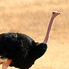 Ostrich portrait by David McGilchrist