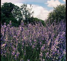 Lavender Field Photograph by PopPopPhoto