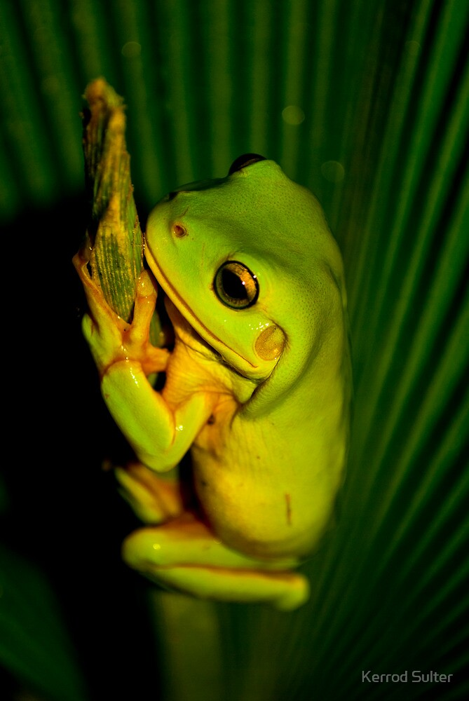 Green Tree Frog by Kerrod Sulter